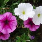 Ako predĺžiť petúniám krásu