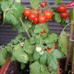 Opelenie balkónových paradajok