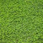 Zelené hnojenie záhradky