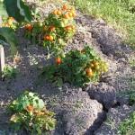 Sucho v záhrade