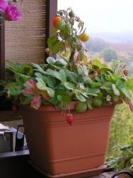 mesačné jahody
