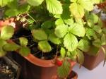 Balkónové jahody v zime