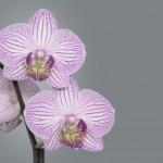 Pestovanie orchideí v byte