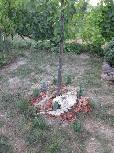 paradajky pod stromom