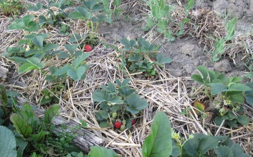 jahody v mulci