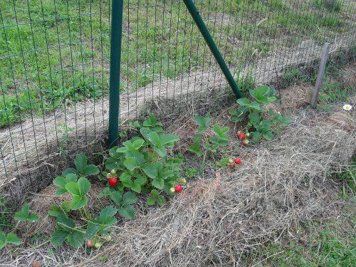 mulčované jahody