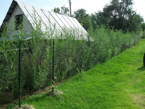 vŕbové sadencie po roku