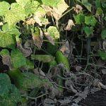 Uhorky v záhrade končia