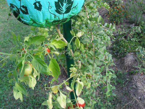 pretočená paradajka