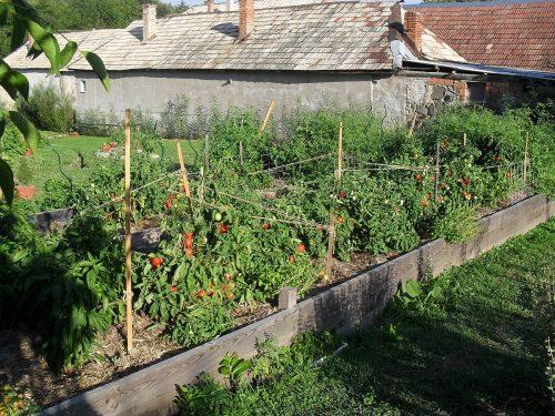 rajčiny na vyvýšenom záhone