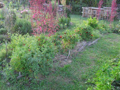záhon paradajok