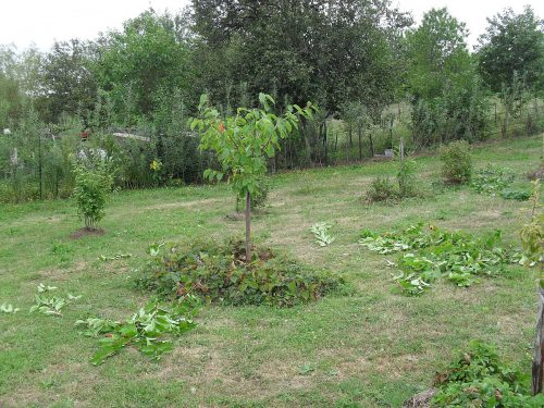 čerešňa po letnom reze