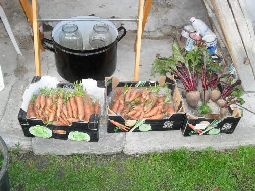 úroda mrkvy