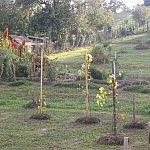 Malý vinohrad v záhrade