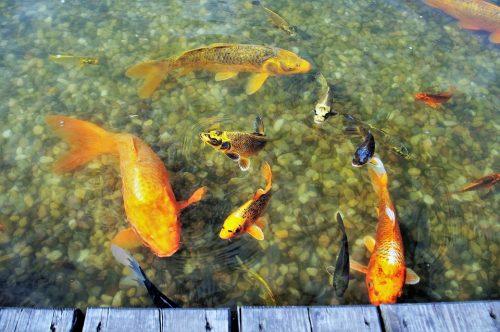 ryby v jazierku