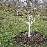 Stromy bielime v januári