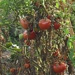 Priveľa paradajok