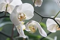 Ako sa starať o izbové orchidey?