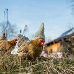 Dajú sa chovať sliepky na záhrade?
